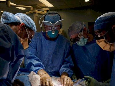Cetak Sejarah, Transplantasi Ginjal Babi Pertama di Dunia Kepada Manusia Berhasil