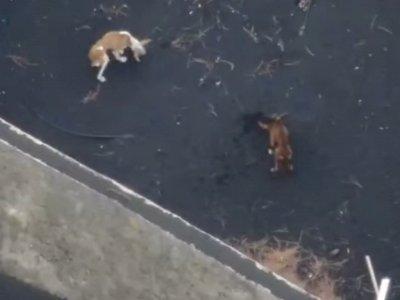 Video Drone Antar Makanan untuk Anjing Kelaparan yang Selamat dari Bencana Gunung La Palma