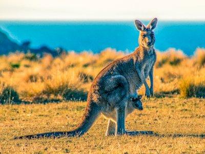 Tak Banyak yang Tahu, 5 Fakta Menarik Seputar Kanguru, Salah Satunya Hewan Kidal!
