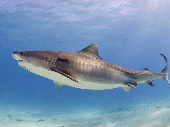Meski Dikenal Sebagai Predator Lautan, Hiu Macan Sangat Berjasa untuk Eksosistem Lautan!