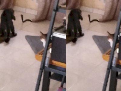 Berani! 5 Ekor Kucing Ini Bertarung dengan Ular Kobra demi Selamatkan Pemilik