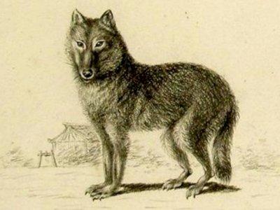 Peneliti Menemukan Serigala Abu-abu Mungkin Berasal dari Nenek Moyang Anjing!