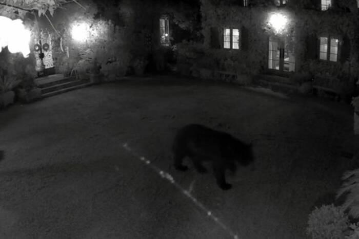 Beruang hitam yang berusaha memangsa ayam peliharaan Meghan dan Harry